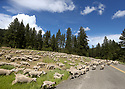 A large flock of sheep graze in a grassy mountain meadow bordered by a paved road. Stock photography by Olympic Photo Group