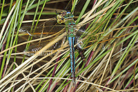 Emperor Dragonfly - Anax impertator - feeding on another of the same species.