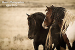 A photo of a bachelor band of wild horses.