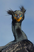 Double-crested Cormorant - Phalacrocorax auritis. Adult in breeding plumage