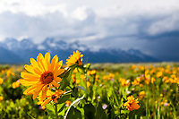 A balsom root bloom, the earliest wildflower of Grand Teton National Park as well as most to the Rocky Mountains. <br />