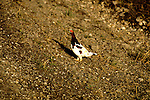 AK: Alaska Denali National Park, Ptarmigan bird.Photo Copyright: Lee Foster, lee@fostertravel.com, www.fostertravel.com, (510) 549-2202.Image: akdena213