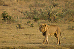 African Lion (Panthera leo) three year old male, Kruger National Park, South Africa