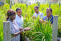 From left to right, Maimouna Ndour, K. Raja Reddy, Shasthree Taduri and Ajaz Ahmad Lone look over plants in the rice experiment plot at the Soil-Plant-Atmosphere Research facility at the university's R.R. Foil Plant Science Research Center. Reddy, director of the SPAR Unit and MAFES researcher, and his team are hosting the visiting scientists. Ndour is a Cochran Fellow and will be at MSU for the next two weeks. Taduri and Ahmad Lone are Raman Fellows and will be on campus conducting research for a full year. (photo by  David Ammon)