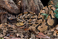 466844002 a captive canebrake rattlesnake crotalus horridus atricaudates lays coiled in leaf litter - species is native to the southeastern united states