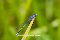 06084-001.03 Springwater Dancer damselfly (Argia plana) male in fen, Phelps Co., MO