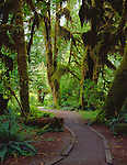 Olympic National Park, WA<br /> The Hall of Mosses Trail leads through a grove of Big Leaf Maples (Acer macorphyllum) covered with mosses, lichens and ferns