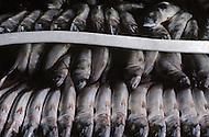 Nova Scotia, Canada, 1967. Freshly fished mackerels.