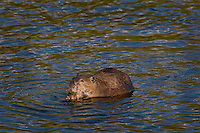 North American Beaver (Castor canadensis) eating pond algea (?) in lake.  Western U.S., June.