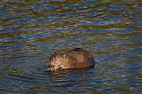 North American Beaver (Castor canadensis) eating pond algea (?) in lake.  Western U.S., June.