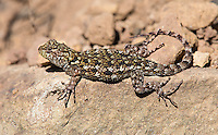 The green spiny lizard is one of the few lizards found in Costa Rica's central highlands.
