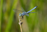 339900025 a wild male blue dasher pachydiplax longipennis perches on a reed near a lake in yuma county arizona