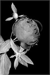 Peony on lightbox, 4 exposures stacked and combined to provide transparency to the petals.  Final image converted to Black and White and then color inverted.
