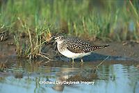 00966-001.15 Solitary Sandpiper (Tringa solitaria) in wetland Marion Co.   IL