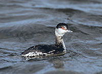 Slavonian Grebe Podiceps auritus L 31-38cm. Buoyant little waterbird with beady red eye. Flattish crown and white-tipped, even-shaped bill (both mandibles are curved) allow separation from Black-necked. White patches on both leading and trailing edges of wings are seen in flight. Sexes are similar. Adult has reddish orange neck and flanks. Back is black and black head has golden-yellow plumes. In winter, has black upperparts and white underparts with clear demarcation between black cap and white cheeks. Juvenile is similar to winter adult. Voice Utters trills and squeals at nest. Status Scarce winter visitor to sheltered coastal waters. Rare breeding bird in Scotland, on shallow lochs with abundant sedges.