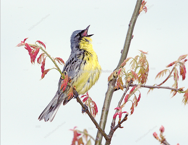A male Kirtland's Warbler singing, June 2004, near Mio (Michigan)