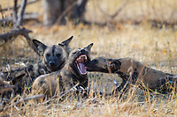African Wild Dog (Lycaon pictus) puppy licks the mother's tongue to try to stimulate regurgitation of food. Unfortunately mom had nothing to offer at this moment. The female dog (species is also called Painted Wolf) displays an impressive set of teeth. Apparently the species Lycaon is distinguished from the Canid species by its specialized teeth, which are related to its hyper carnivore diet.