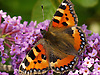 The Tortoiseshell is a medium-sized butterfly that is mainly reddish-orange in colour, with black and yellow markings on the forewings as well as a ring of blue spots around the edge of the wings. It has a wingspan ranging from 4.5-6.2 cm.<br />