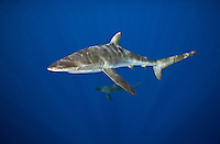 RK0595-D. Silky Shark (Carcharhinus falciformis), grows to 3.3m, usually pelagic, sometimes in big schools. Galapagos Islands, Ecuador, Pacific Ocean. <br /> Photo Copyright &copy; Brandon Cole. All rights reserved worldwide.  www.brandoncole.com