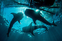 A trio of whale sharks, Rhincodon typus, visits a bagan where fishermen offer it small fish. Kwatisore, West Papua, Indonesia, Pacific Ocean