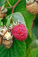 RASPBERRY Rubus idaeus (Rosaceae) Height to 1.5m<br /> Upright perennial with biennial, arching stems that bear weak thorns. FLOWERS are 1cm across with 5 white petals; in clusters of up to 10 flowers (Jun-Aug). FRUITS are red, with many segments. LEAVES are pinnately divided with 3-7 leaflets that are downy below. STATUS-Widespread and fairly common throughout.