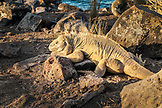 GALAPAGOS ISLANDS, ECUADOR, land iguanas spotted while exploring near Urbina Bay, on the west side of Isabela Island at the base of Alcedo and Darwin Volcanoes