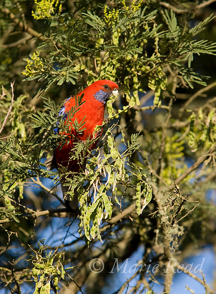 Crimson Rosella (Platycercus elegans), feeding on seeds, Bunya Mountains National Park, Queensland, Australia