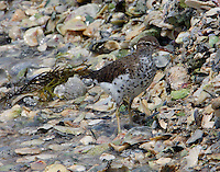 Spotted sandpiper feeding at water's edge