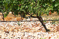 Vines equipped with black rubber or plastic tubes for artificial drip irrigation watering. Lime stone limestone based very white soil, very much stones pebbles rocks. Zilavka grape variety. One of their best vineyards with very poor soil on a hilltop mountain near Citluk and Zitomislic. Vinarija Citluk winery in Citluk near Mostar, part of Hercegovina Vino, Mostar. Federation Bosne i Hercegovine. Bosnia Herzegovina, Europe.
