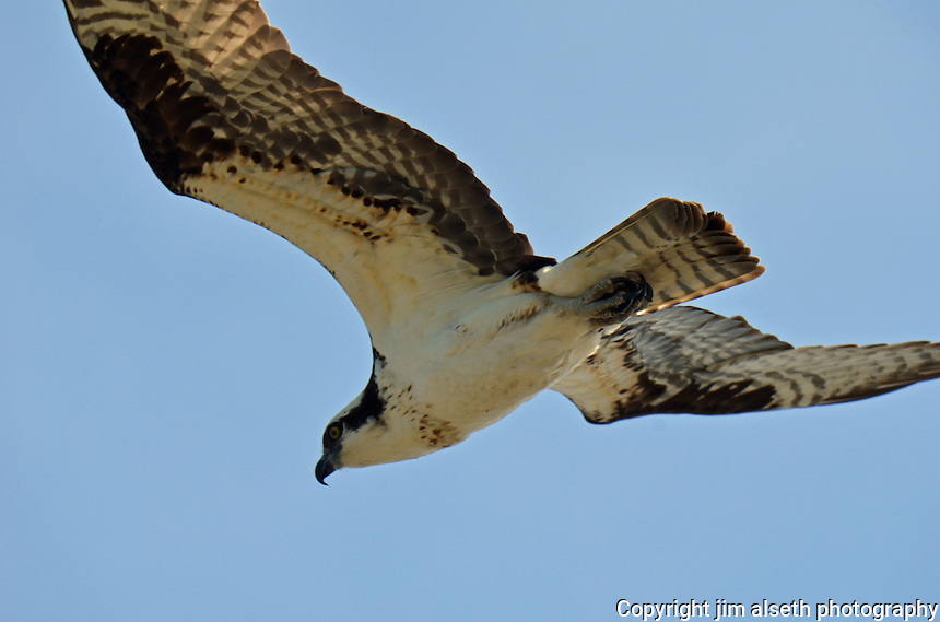 Early summer is a very active time for the Ospreys of Lac La Biche...