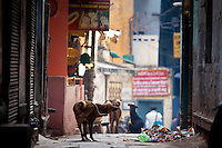 Street dogs in alleyway in the holy city of Varanasi, Benares, Northern India