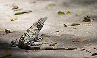 Black iguanas are large lizards that are quite common in Costa Rica.
