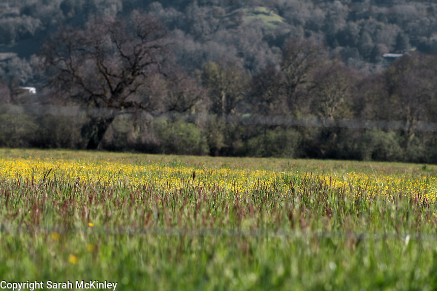 Buttercups growing in a field of hay outside of Willits in Mendocino County in Northern California.