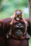 Bornean orangutan and baby, Borneo
