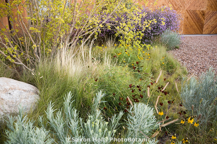 Naturalistic xeriscape low water use meadow landscaping in New Mexico garden with native plants - Forestiera tree, Blue Grama Grass (Bouteloua gracilis), Threadgrass (Nassella tenuissima), Chamisa (Chrysothamnus), and perennial coneflowers (Ratibida)