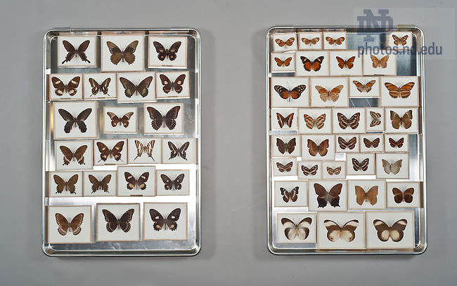 Butterflies..One of the items in the collection of the Museum of Biodiversity in the Jordan Hall of Science.  For Notre Dame Magazine.