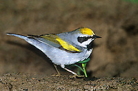 591890001 a wild golden-winged male warbler vermivora chrysoptera in breeding plumage foraging on ground rio grande valley texas