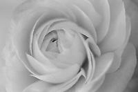 Ranunculus, 35mm image on Ilford Delta 100 film.