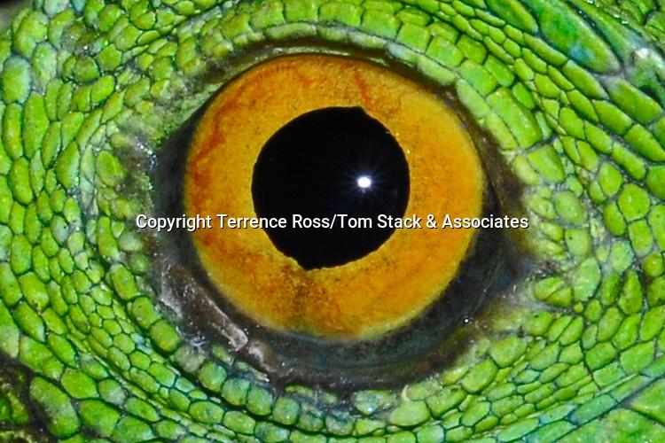 Close-up of iguana's eye