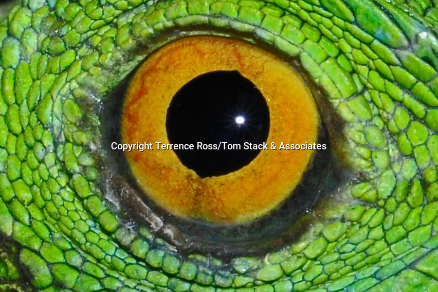 Close-up of iguana's eye
