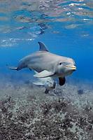 common bottlenose dolphin, or Atlantic bottlenose dolphin, Tursiops truncatus, pair, Florida Keys, Florida, USA, Caribbean Sea, Atlantic Ocean