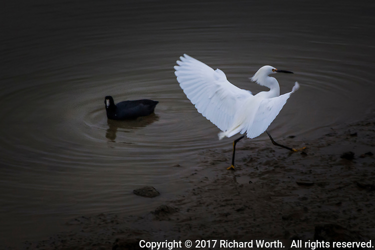 With flourish and panache, a Snowy egret comes in for a landing along San Leandro Marina's shoreline barely acknowledged by an American Coot floating mere inches away.