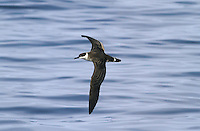 Great Shearwater - Puffinus gravis. Breed in the southern Atlantic (on islands of New Zealand and South America); outside the breeding season they undertake a circum-Atlantic journey, passing through European waters mainly from July to September.