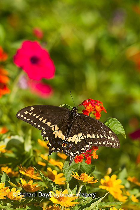 03009-01710 Black Swallowtail butterfly (Papilio polyxenes) male on Red Spread Lantana (Lantana camara) Marion Co., IL