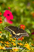 03009-01710 Black Swallowtail butterfly (Papilio polyxenes) male on Red Spread Lantana (Lantana camara) Marion Co., IL