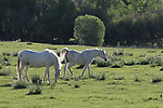 white horses in Antelope Valley