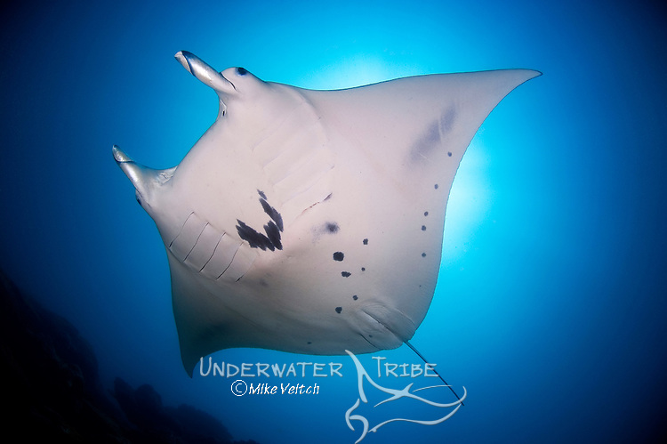 A Manta ray hovers above a cleaning station, Manta birostris, Valley of the Rays, Goofnuw Channel, Yap, Federated States of Micronesia, Pacific Ocean