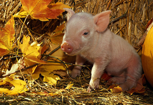Adorable piglet peeks from straw and fall leaves on waking from a nap