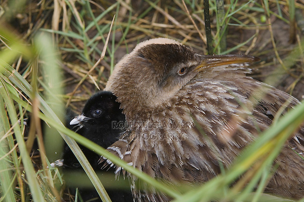 Clapper Rail, Rallus longirostris, adult with young, South Padre Island, Texas, USA