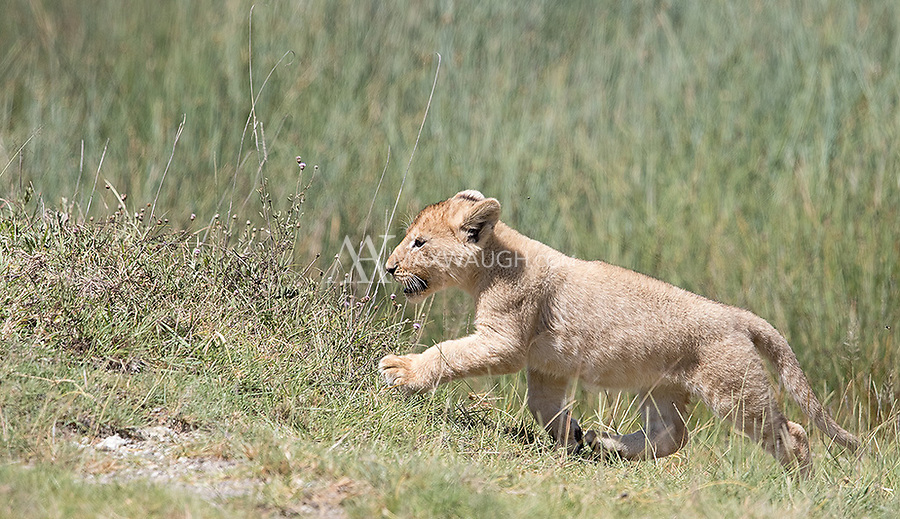 We saw a number of lions in Ndutu, and had a nice session with a mother and her five cubs one morning.